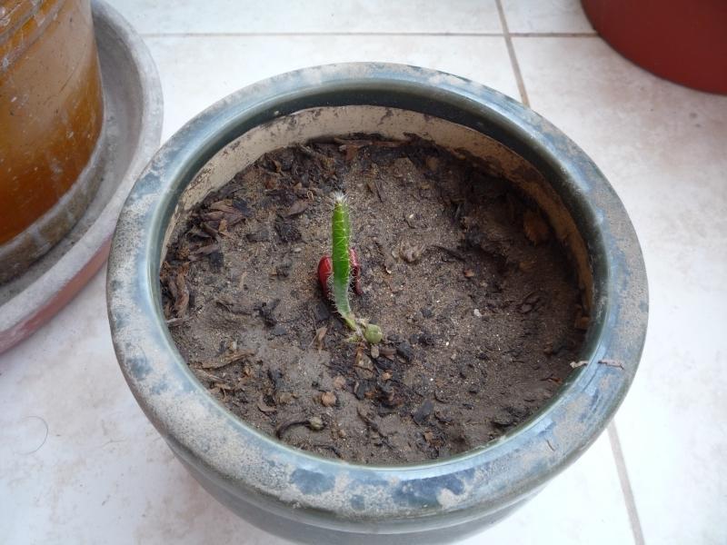 Папайя из семян выращивание 22